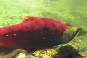 Fish and Wildlife - Salmon Preservation